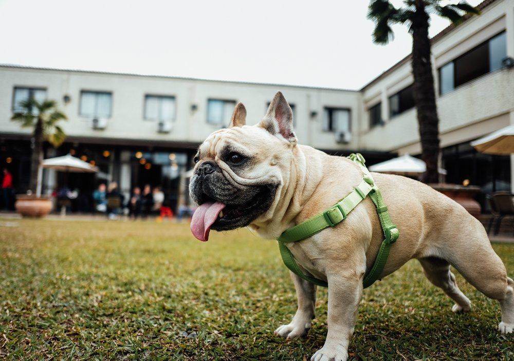 Bulldog-outdoors.jpg