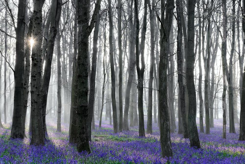 Bluebells in Foggy Morning