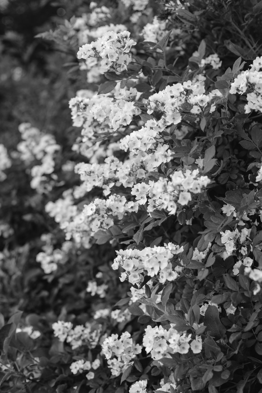 b&w flowers.jpg