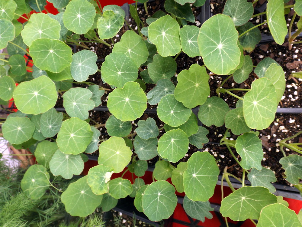 Nasturtiums are an edible flower with a sweet, almost peppery taste. They're fantastic in salads, (especially the RED ones) but the plants are often difficult to find at area nurseries - unique plant varieties abound at the market though!