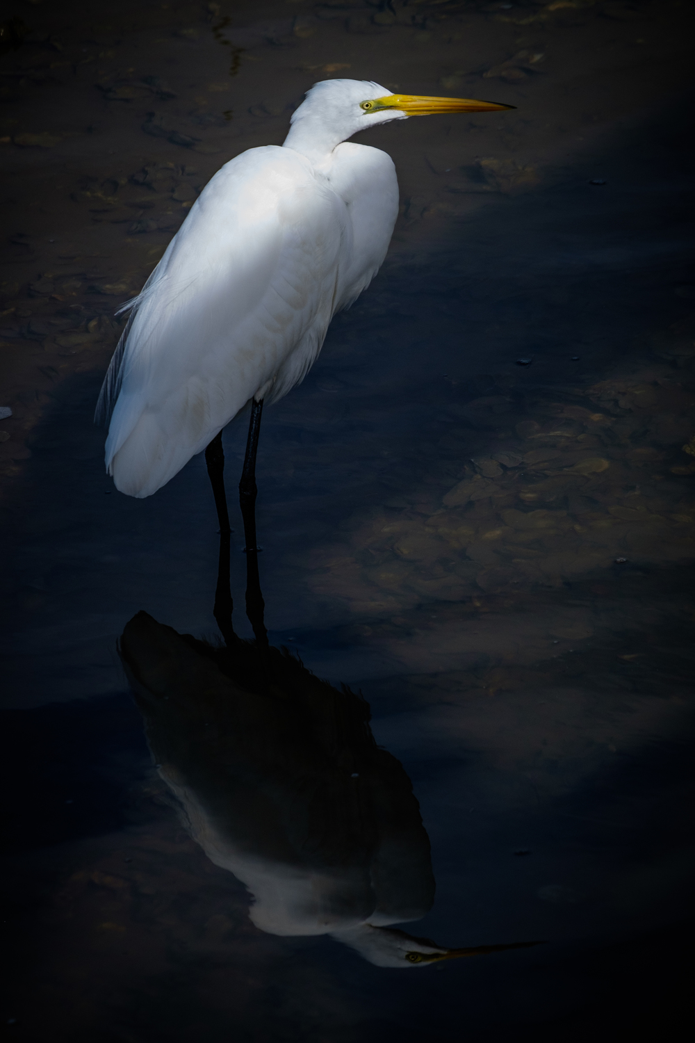Great egret at Shem Creek Park in Mt Pleasant, SC