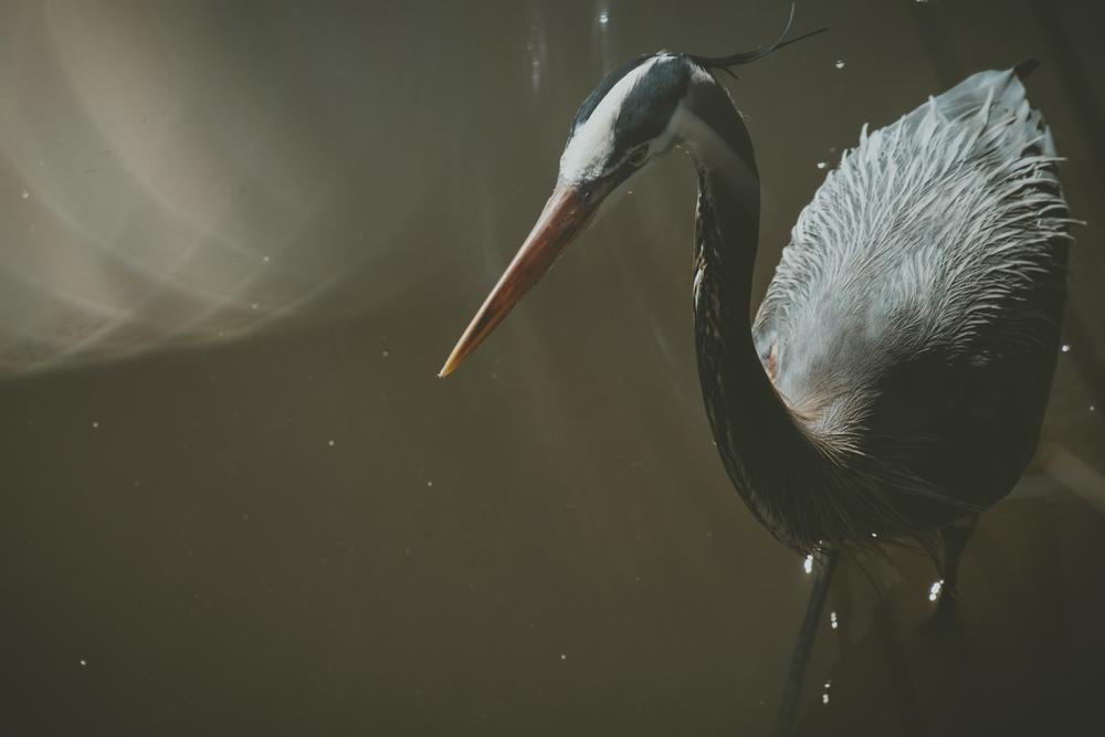 Great blue heron fishing at low tide along Shem Creek