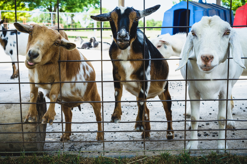 Goats at the Green Meadow Petting Zoo