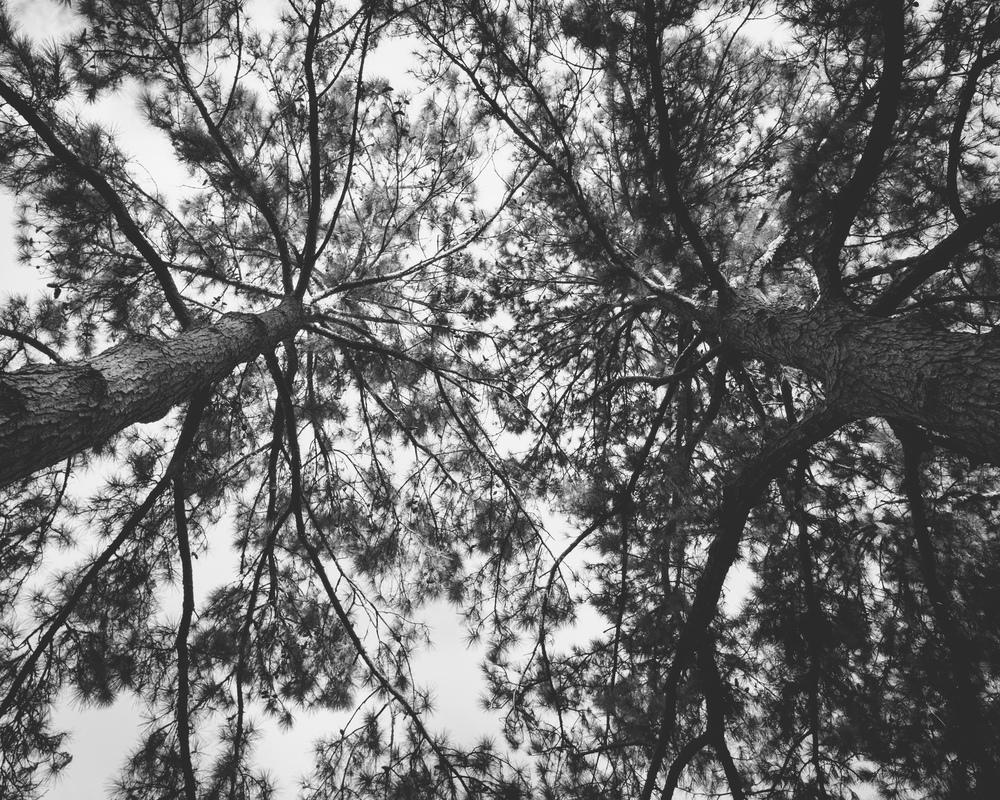 Synaptic pine trees