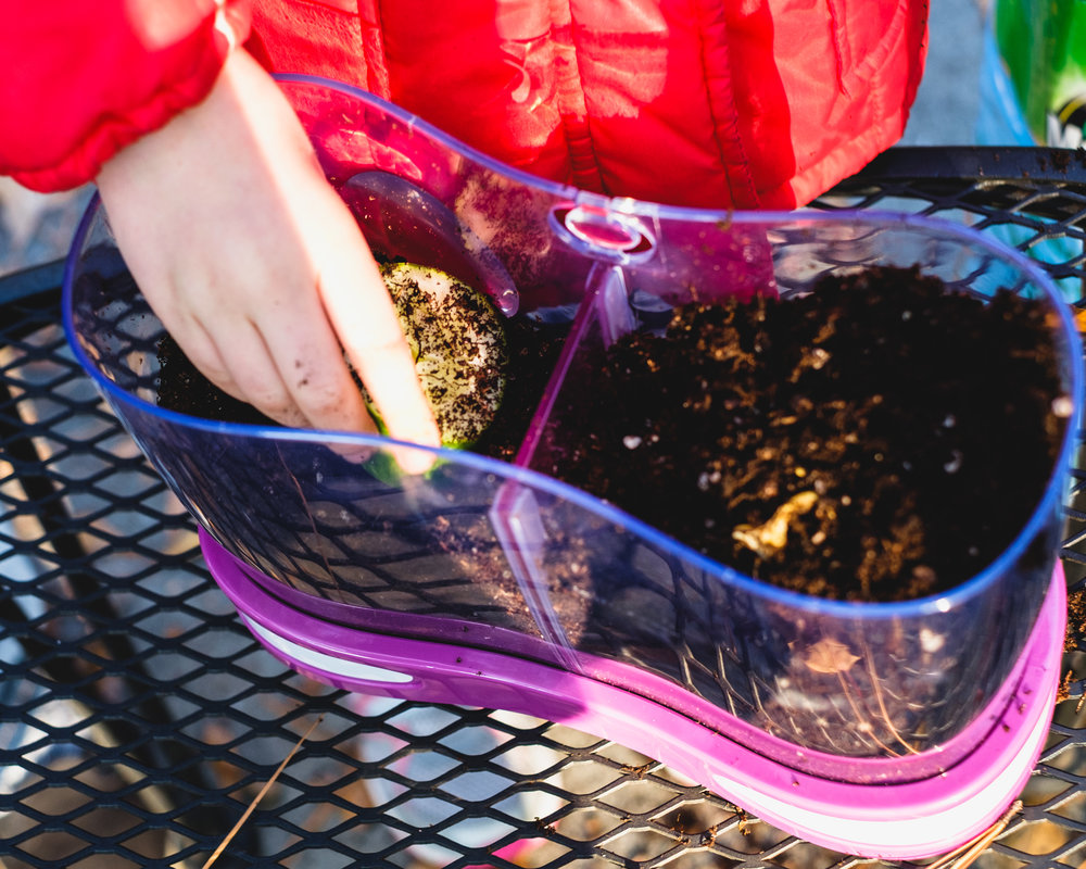 Placing some cucumbers in potting soil, so we can watch them decompose.