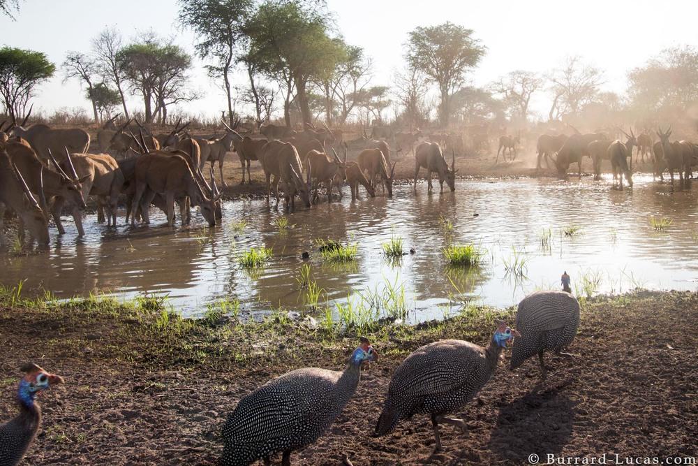 Kaya Safari B-L Guinea Fowl Eland.jpg