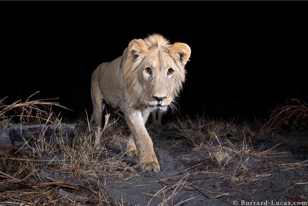 Kaya Safari B-L Lions.jpg