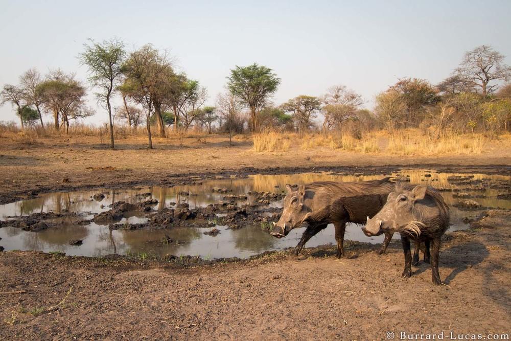 Kaya Safari B-L Warthogs.jpg