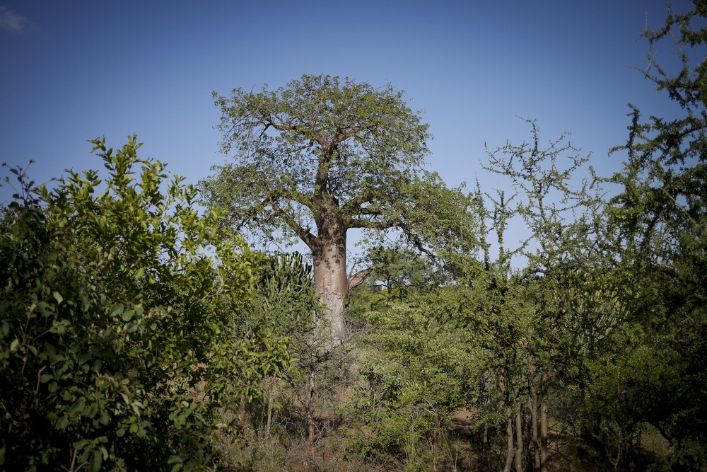 Baobab.jpg