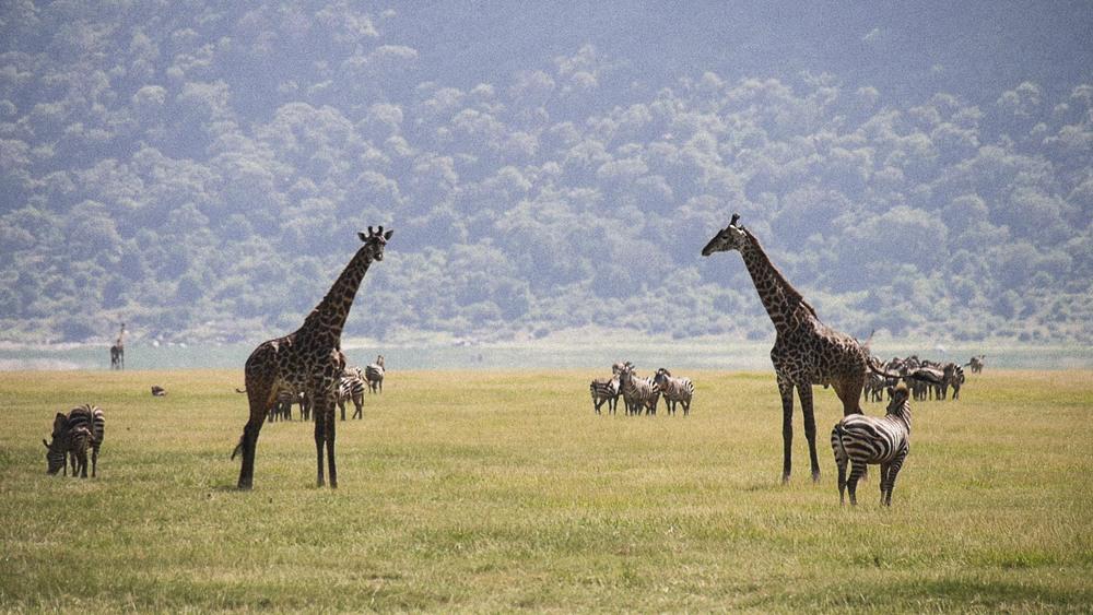 Manyara Giraffe Buffalo Zebra.jpg