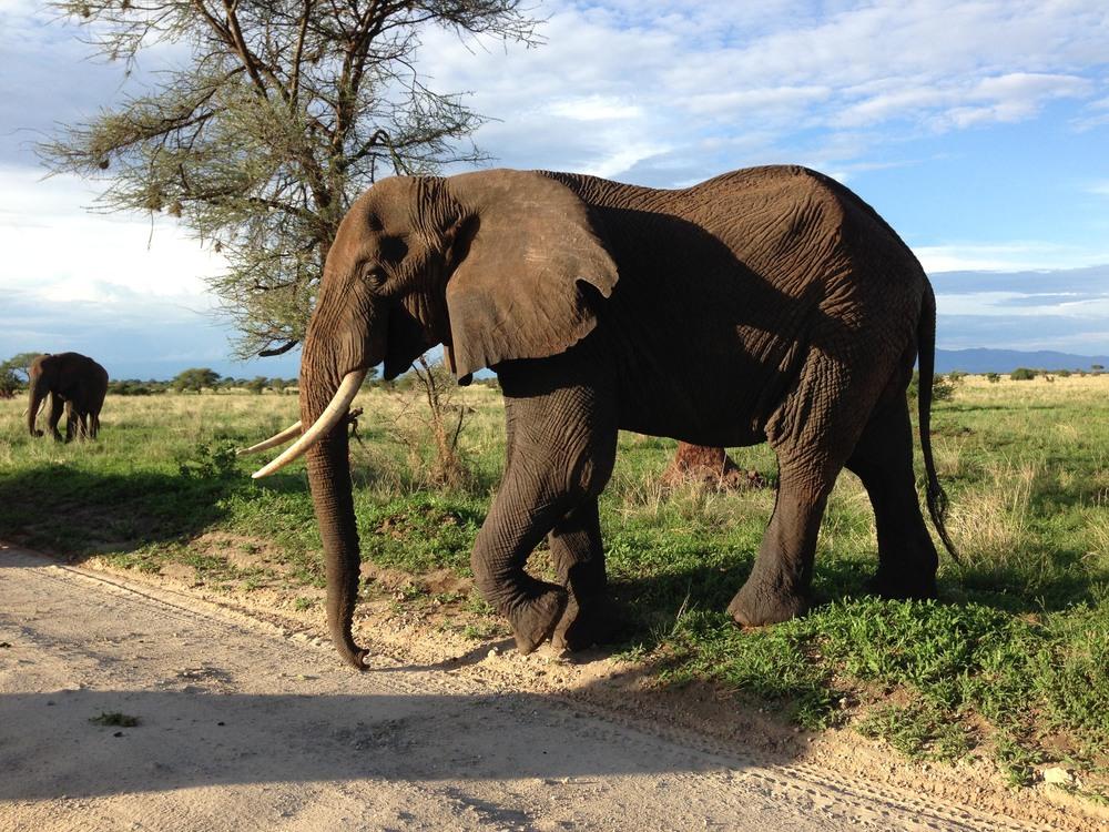 Kaya Safari - Abdenbi & Saliha - Elephant Tarangire.jpg