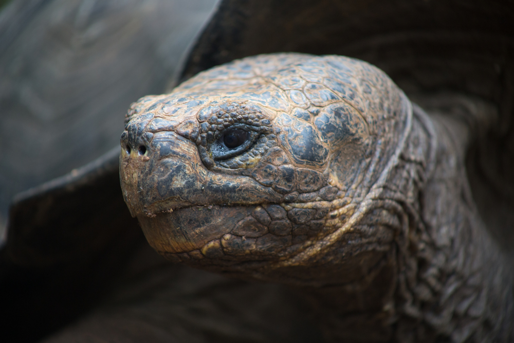 Picture 15- Giant Tortoise Face.jpg