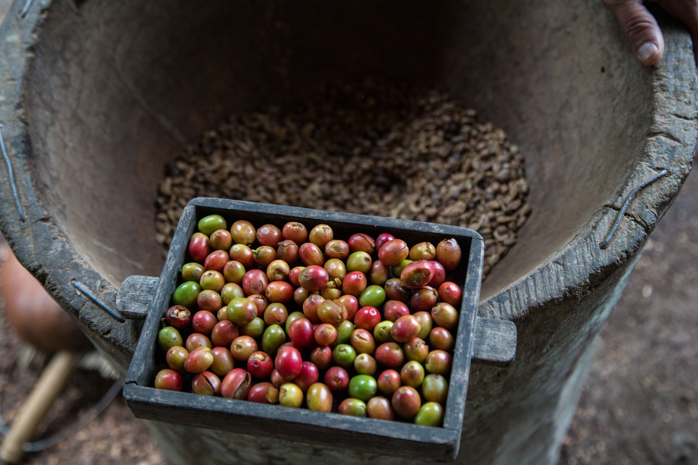 Picture 24- Harvested and processed coffee.jpg
