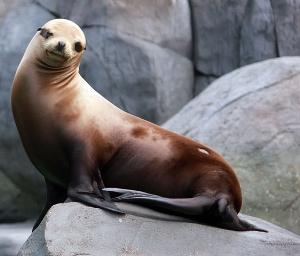 California Sea Lion (Photo: Yinan Chen; used with permission)