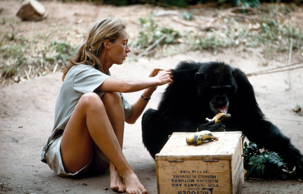 Jane Goodall grooming David Greybeard, the first chimp to lose his fear of her.