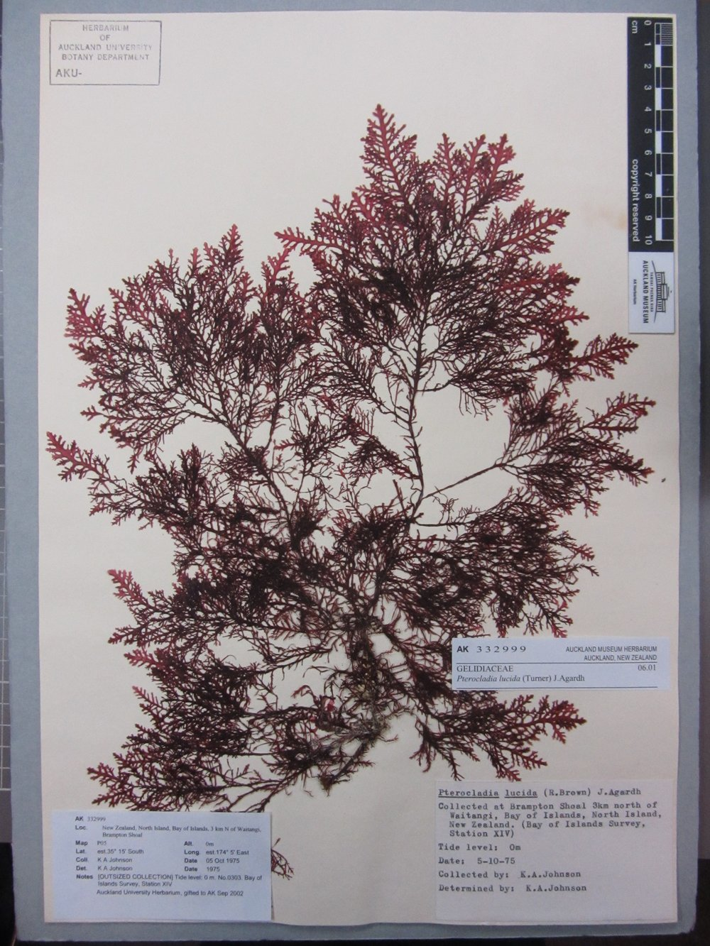 Pterocladia Lucida  , the red seaweed used for making agar.