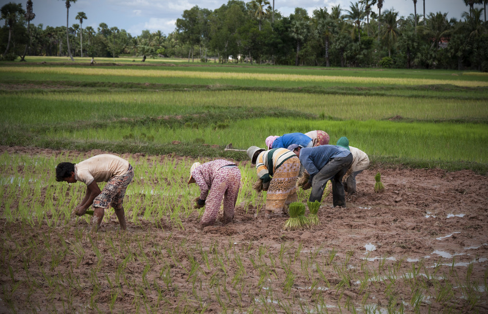 Farmers planting rice on a mass grave, Kampong Chhnang province, Cambodia | Photo by Caroline Bennett, August 2012