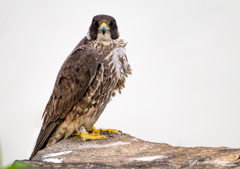 Juvenile female peregrine falcon 5/19/16.