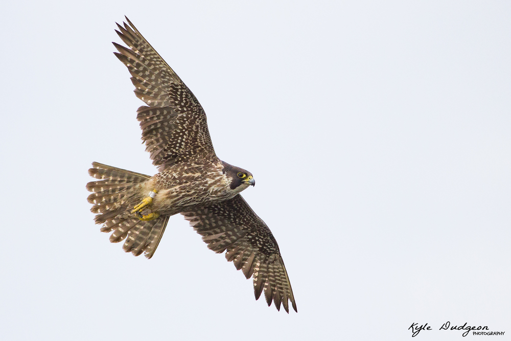 Juvenile peregrine falcon in flight 5/19/16.