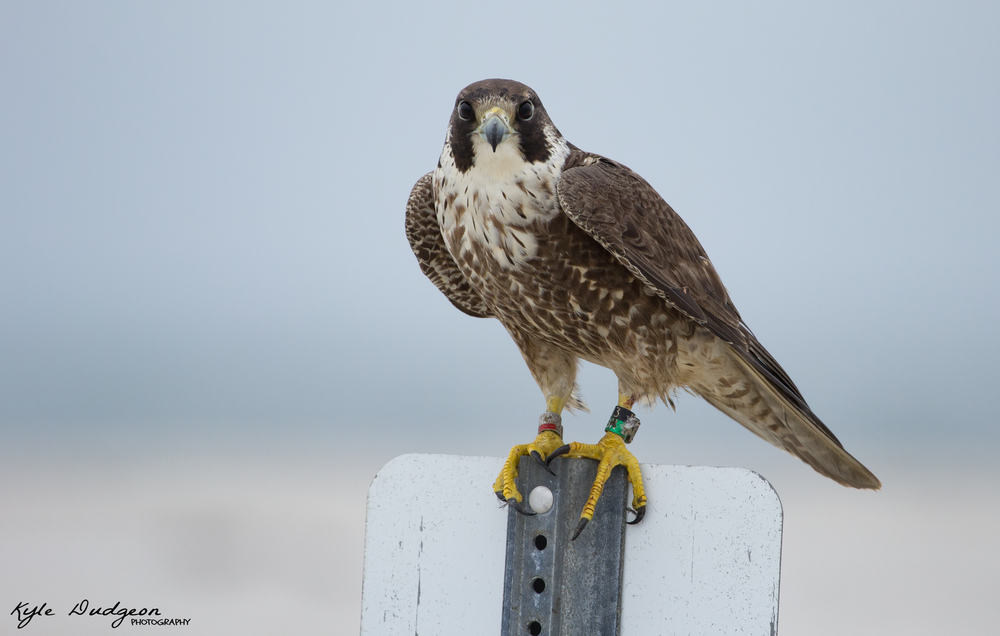 I've learned over time that falcons love perching on signs.  We were eye level for this shot.