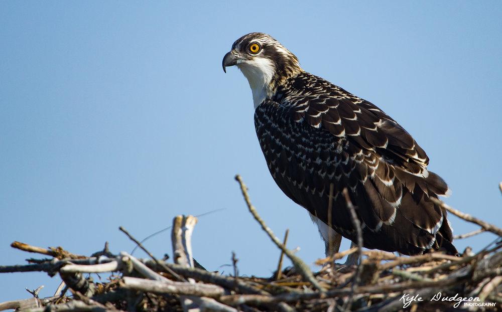 Osprey fledgling on LBI. 8/5/16.