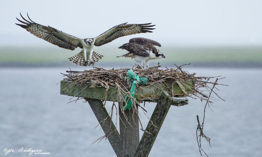 Two osprey fledglings at Forsythe National Wildlife Refuge. 8/10/16.