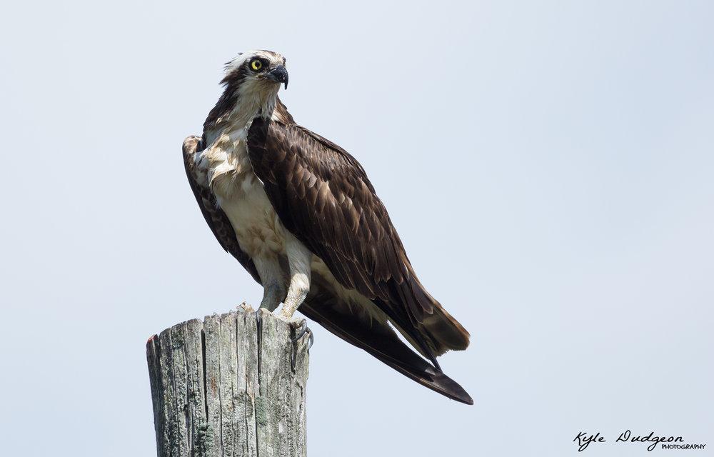 Osprey with breakfast in Galloway, NJ. 8/10/16.