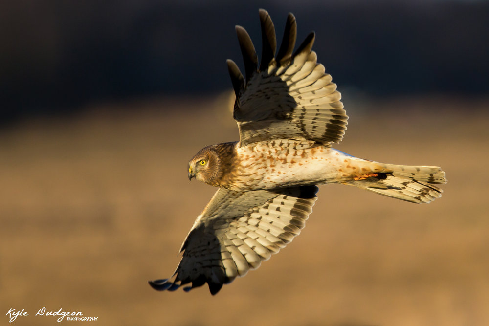 Male northern harrier (gray ghost) in the golden light.