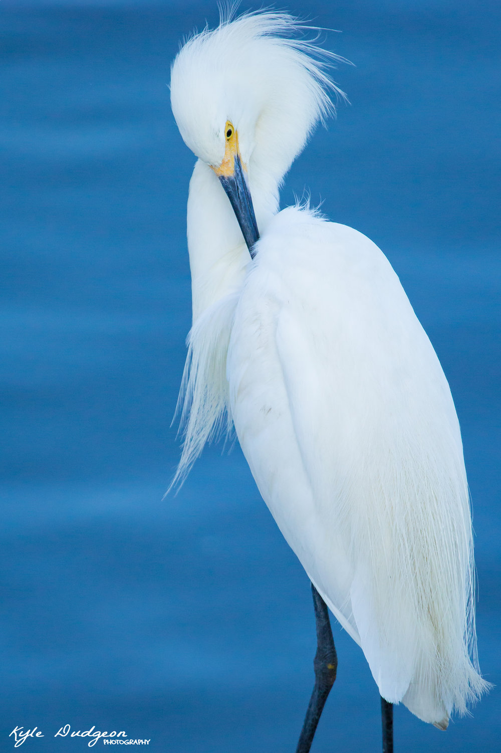 Snowy egret preening.