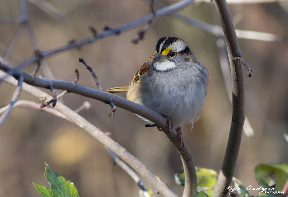 Another one of my favorites. White-throated sparrow. 11/4/16.