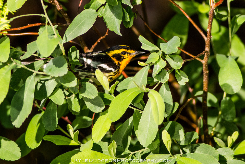This bird worked its way from the tree tops to this shrub only a couple feet off of the water. Blackburnian warbler shot from the kayak 6/25/17.