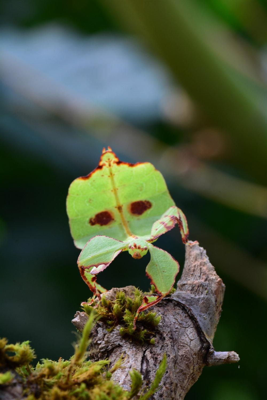 Celebes Leaf Insect - Phyllium celebicum_nymph.JPG