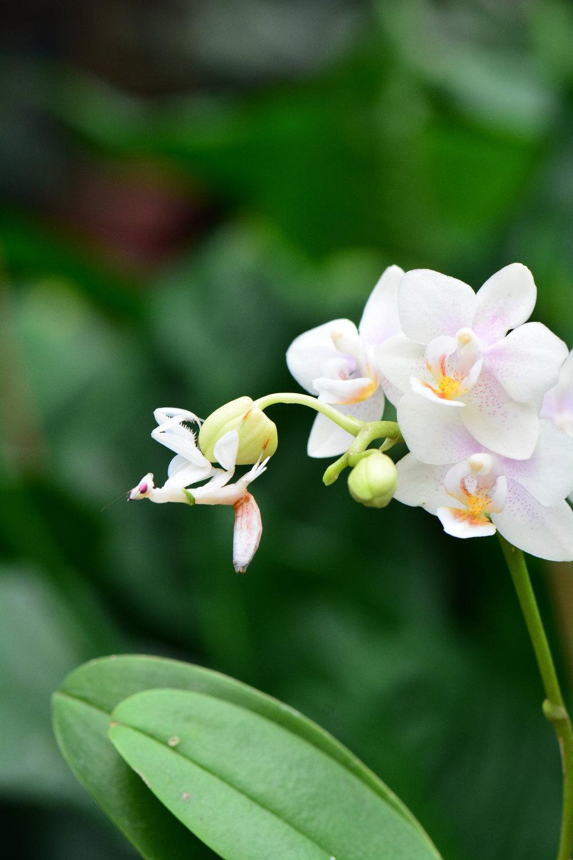Orchid Mantis - Hymenopus coronatus nymph.JPG