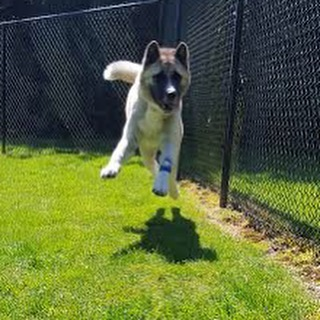 Orion here is one of two dogs we recently treated for bromethalin toxicity, due to rat bait ingestion. Luckily this 1-year-old Akita received prompt treatment and is, as you can see, doing quite well! Read more at the link in our profile. ☀️ #pilchuckvet