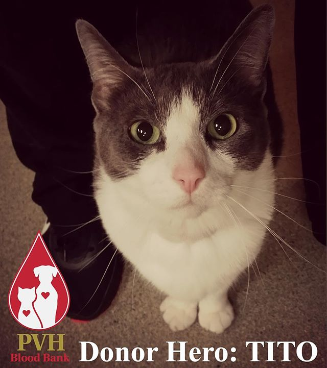 Did you know that PVH has a blood bank for dogs and cats? Valentino aka Tito here is one of our donor heroes! Find out how our donors save lives and how your animal companions can help at pilchuckvet.com/bloodbank 🐱🐶🐾