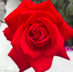 simply breathe red rose.png