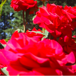 simply breathe red roses.png