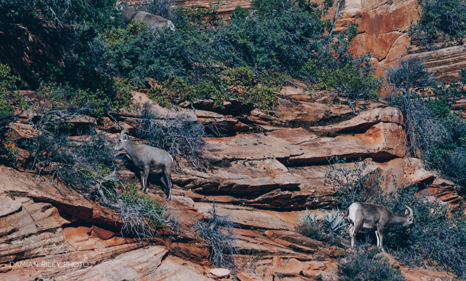 Long Horn Sheep hanging around the roadside in Zion National Park
