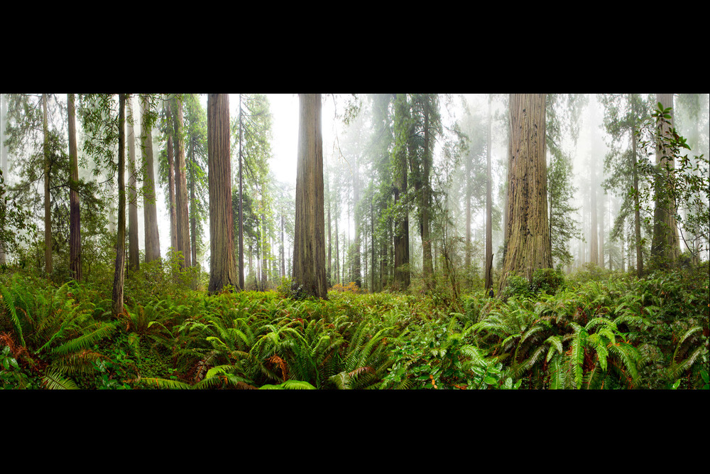 redwoods pano.jpg