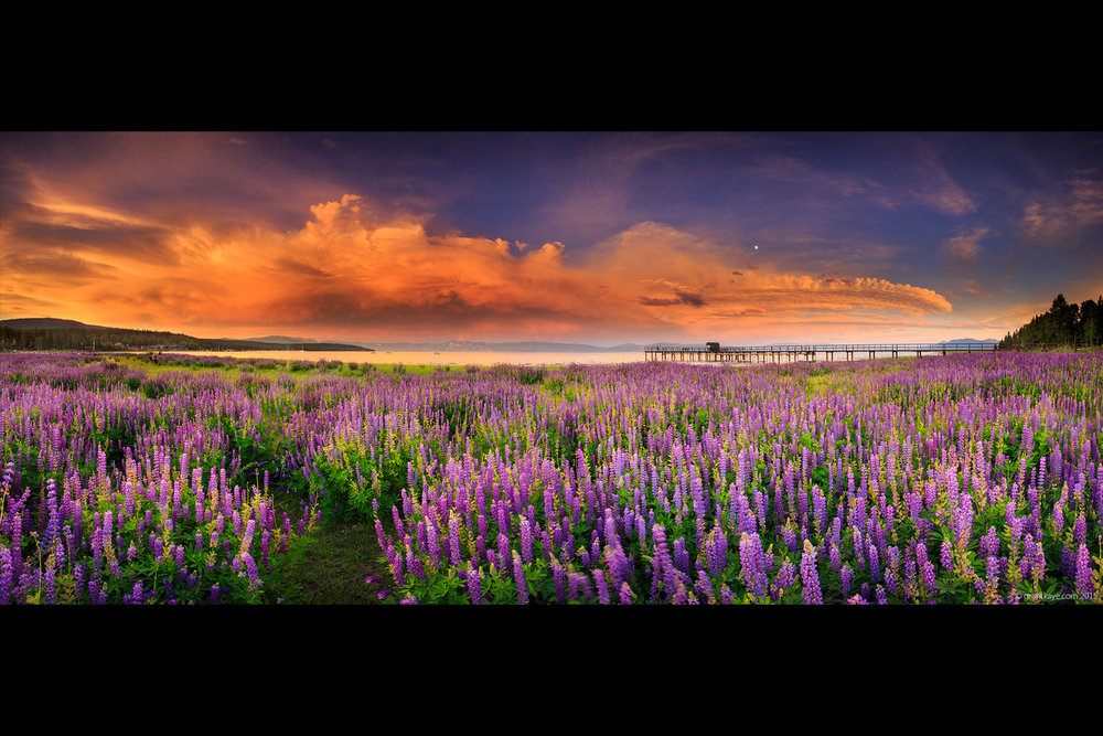 Lake Tahoe Lupine Panorama