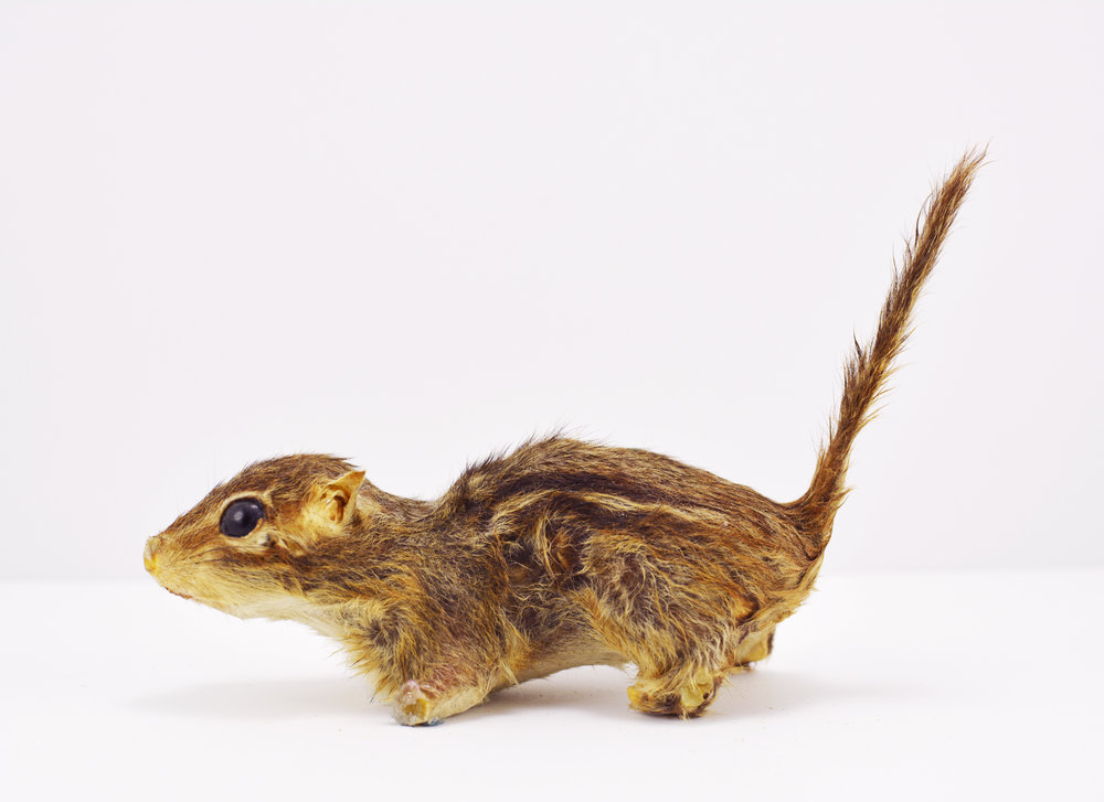 Elizabeth Glaessner,  Taxidermy Chipmunk