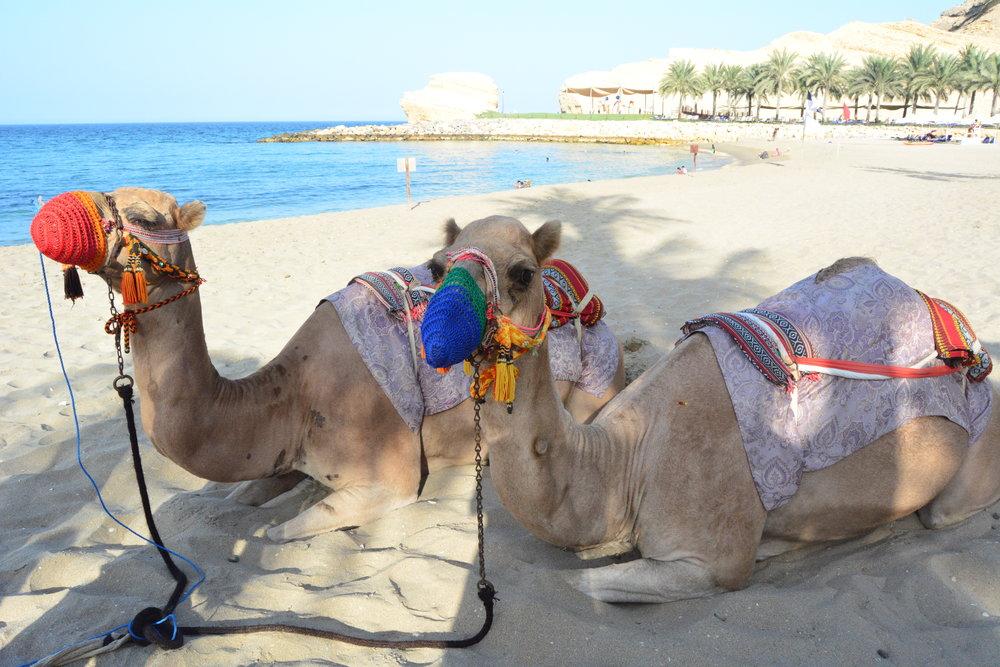 Al Waha - Camel Ride (Shangri-La Muscat)