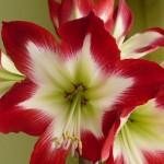 amaryllis-tres-chic-150x150.jpg