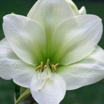amaryllis-siberia-150x150.jpg