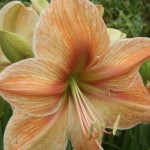 amaryllis-exotica-150x150.jpg