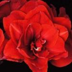 amaryllis-cherry-nymph-150x150.jpg