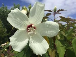 Hardy Native Hibiscus Native Nurseries