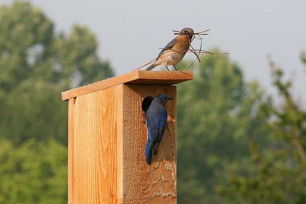 Bluebird parents at their nest box. Photo by Glenda Simmons.