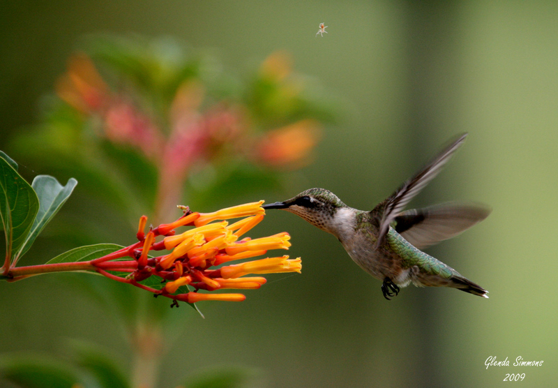 Ruby-throated hummingbird sipping nectar from dwarf firebush flower. Photo by Glenda Simmons.