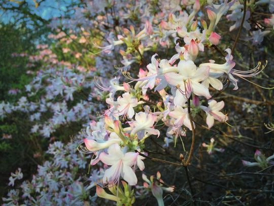 Piedmont azalea in white with pink blush form. (Photo: Lilly Anderson-Messec)